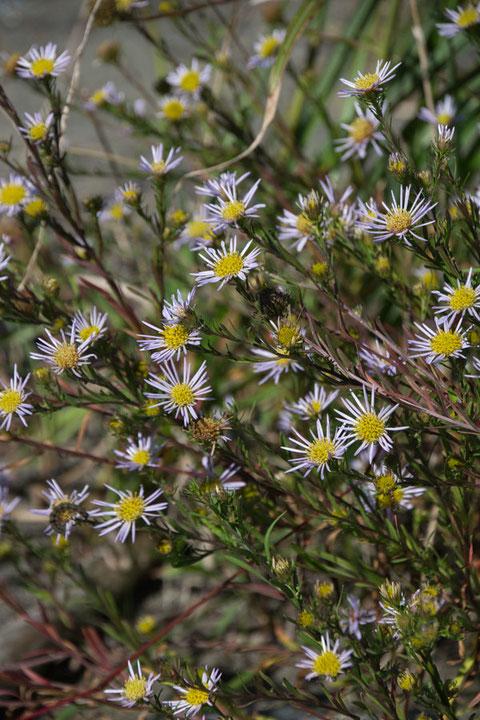 カワラノギク 舌状花の幅が明らかに通常花より狭い(細い)