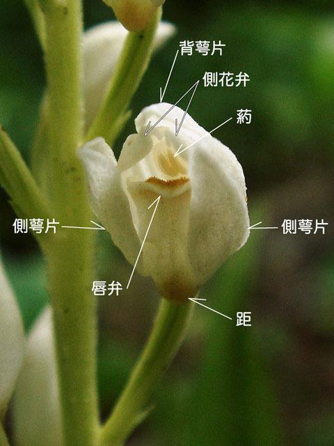 ササバギンランの花の構造(背萼片、側花弁、側萼片、唇弁、葯、距) 2008.06.08 群馬県吾妻郡