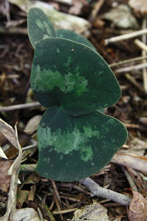 正体不明のAsarumには、奇妙な形の葉をつけている個体があった。