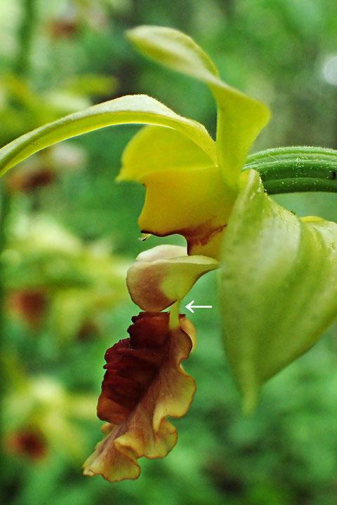 サルメンエビネの花の側面-2
