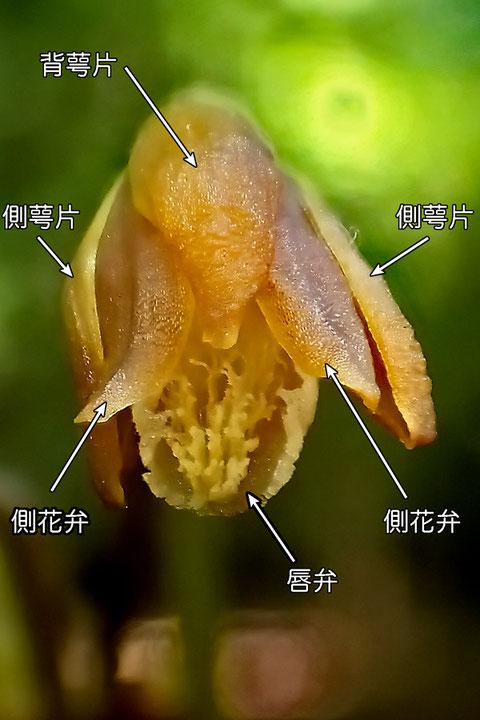 #7 エンシュウムヨウランの花の正面 各部の名称