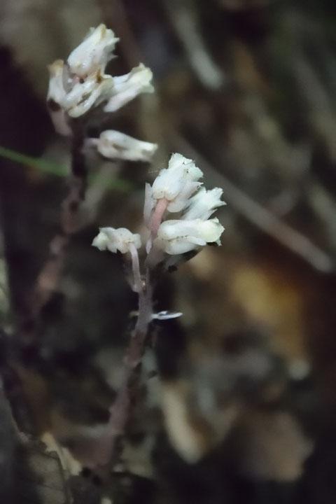 1本の茎に複数の花がついているので、ギンリョウソウじゃないね