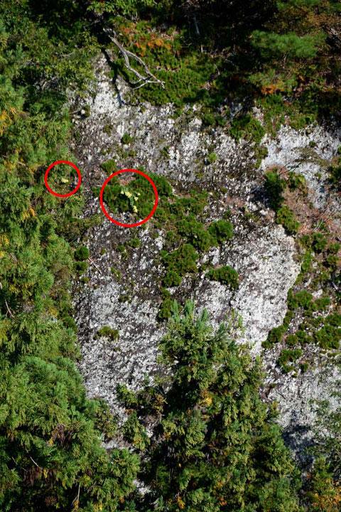 断崖絶壁に咲くオオチチッパベンケイ(赤丸内)