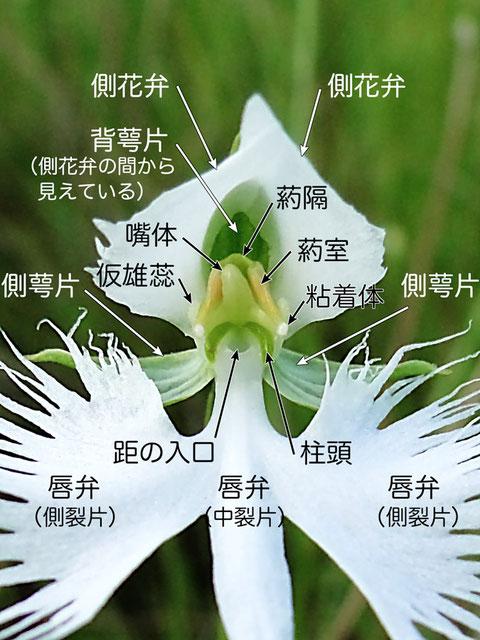サギソウの花の構造(背萼片、側花弁、側萼片、唇弁、葯室、嘴体、粘着体、距、柱頭)