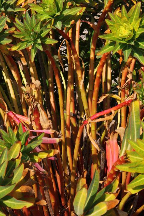 イワタイゲキの茎は太く、赤みを帯びます。 葉柄が取れた跡が見えます。