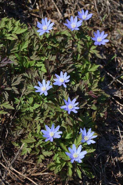 青いキクザキイチゲは新潟県でしか見たことがない