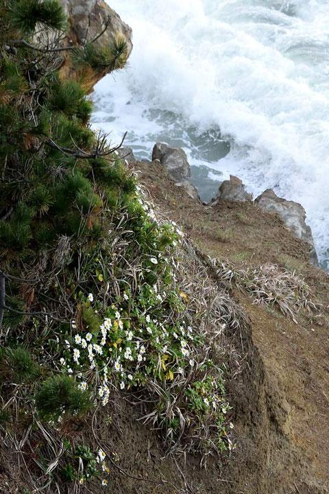 いつ見ても海岸植物の逞しさには敬服します