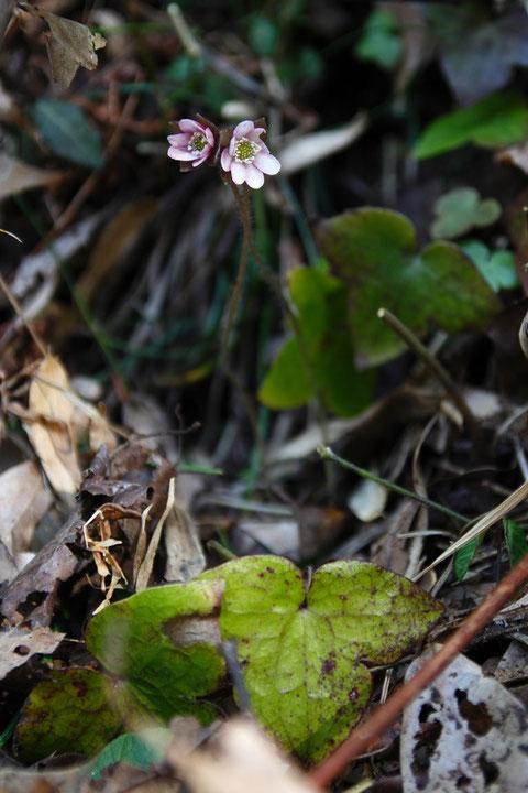 うっすらピンクのミスミソウ 花は小さめでまだ開ききっていなかった