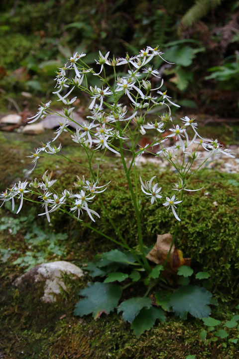 #11 葉は混生し長い柄があります。 まばらな円錐花序に多数の花をつけます