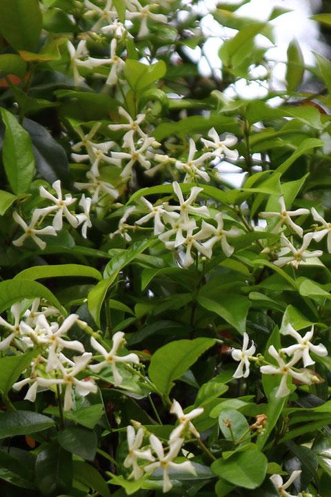 テイカカズラの花  多くの木にびっしり絡みついていた