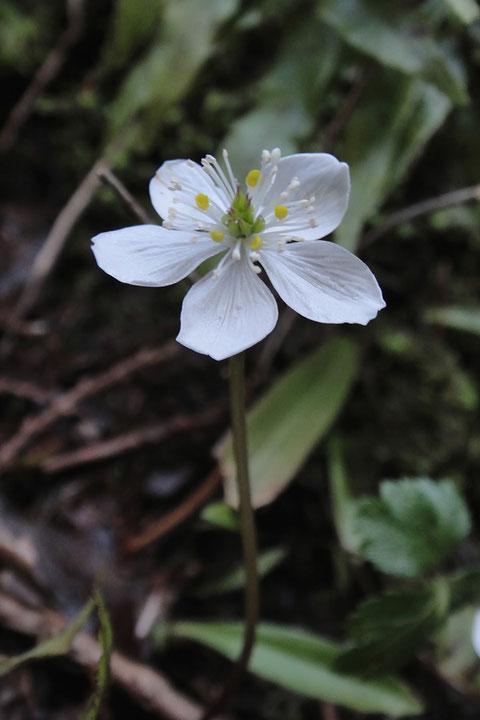#8 キタヤマオウレンの花