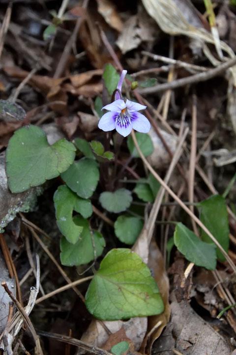 アワガタケスミレの葉の基部は切形。 心形となるナガハシスミレと異なります