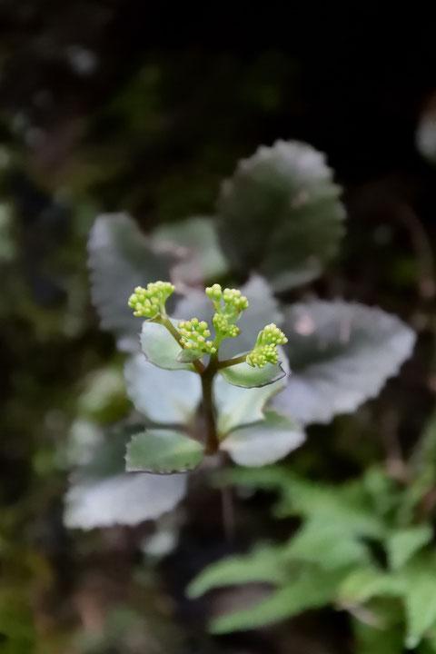 チチッパベンケイ  花はまだ固い蕾でした