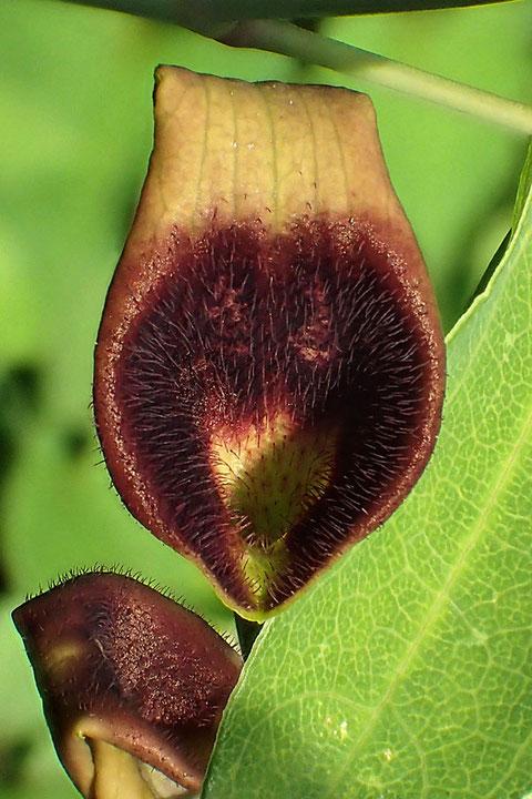ウマノスズクサの花の開口部には、内向きの毛が密生します(見えないが筒部内側も)