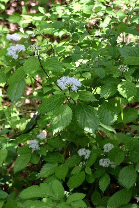 コアジサイ (小紫陽花) アジサイ科 アジサイ属