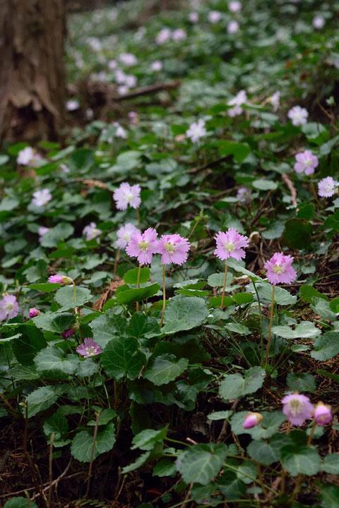 花は白色に近いものが多いですが、ピンク色が濃いものもありました
