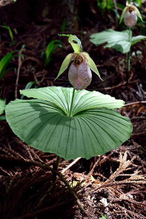 クマガイソウ  2個の扇円形の大きな葉は、一度見たら忘れられない