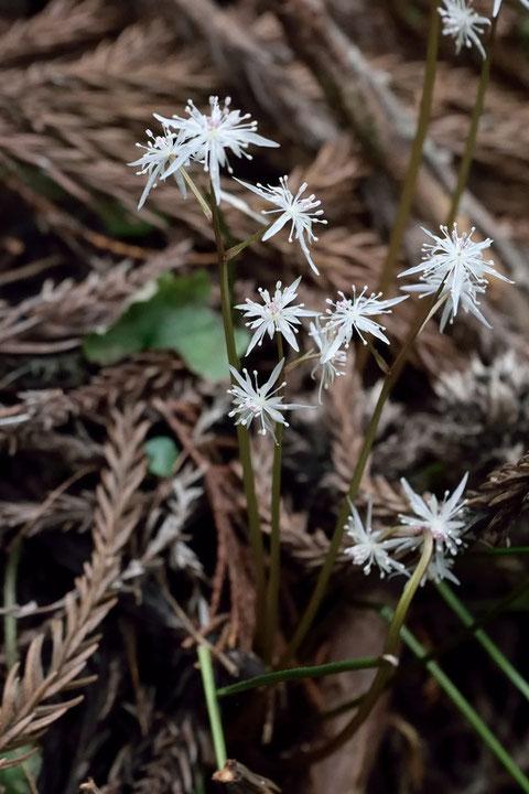 こちらは色が白く、小さめなのでコセリバオウレンかな 雄花ですね。