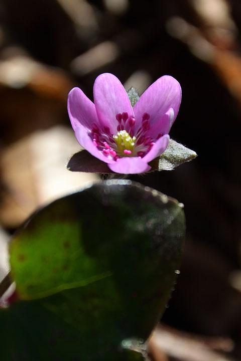 オオミスミソウ 咲き始めで小さいが、濃いピンク色の花