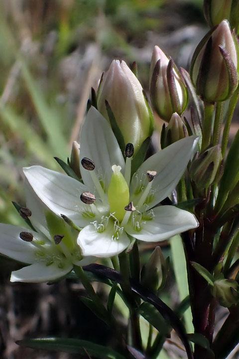 センブリも花弁基部に2個ある蜜腺体に毛が生えている