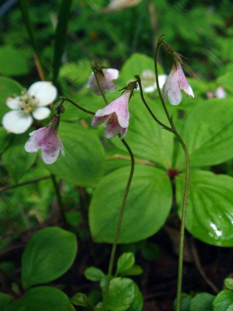 リンネソウ  花を2つつけるので夫婦花とも呼ばれていたそうです
