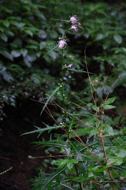 アズマヤマアザミ (東山薊) キク科 アザミ属