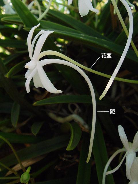 フウランの花の側面