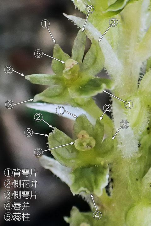 #6 カイサカネランの花各部の名称