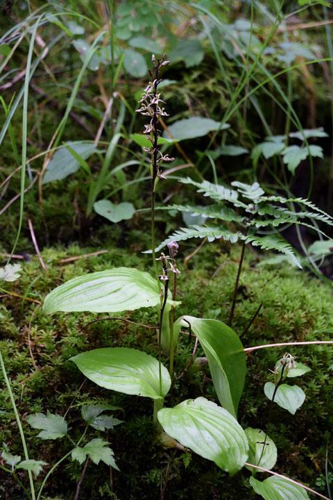 ギボウシラン (擬宝珠蘭) ラン科 クモキリソウ属