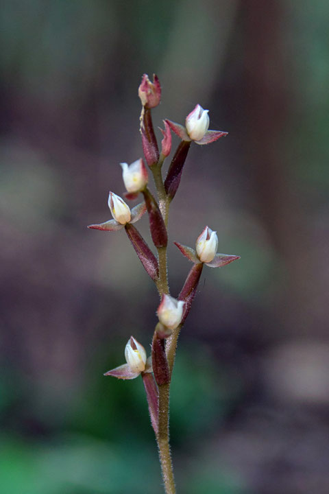 ヤクシマアカシュスランの花は、みんな上を向いていた