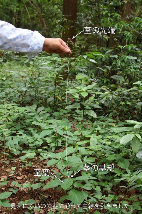 クサナギオゴケの茎はとても細く、そして長く伸びます