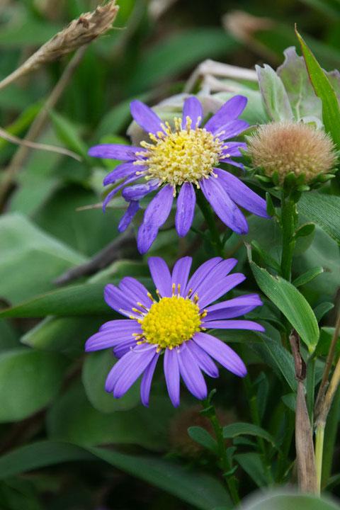 ハマベノギク  濃い紫色の花は数は少なかった