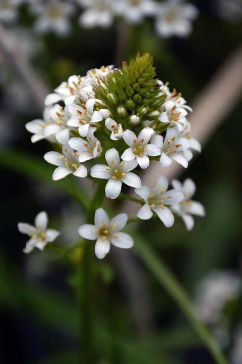 トウサワトラノオ、近づいて見ると、とてもかわいい花ですよ。 花の直径は1cmほど。