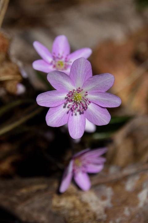 オオミスミソウは、白色〜ピンク色〜紫色〜藍色と、様々な色の花が咲きます。