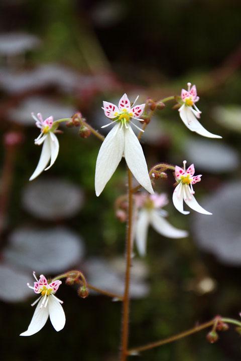 ユキノシタの茎頂には他より大きな花がつくことが多い ということに気づいた