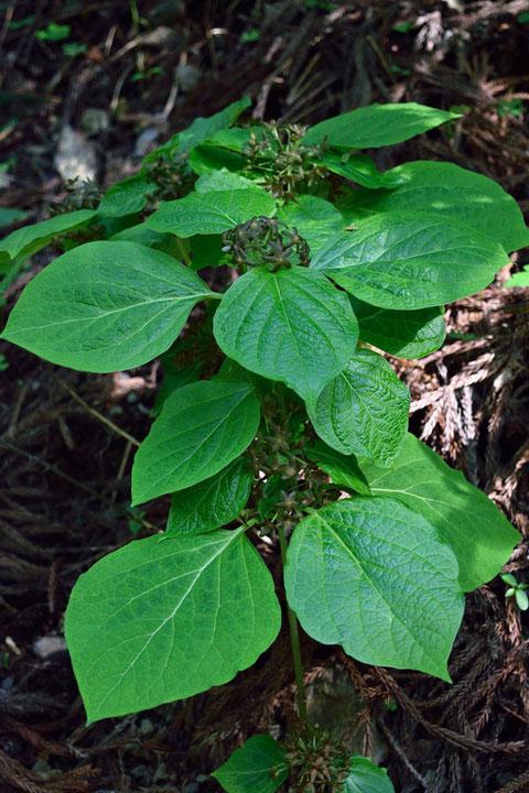 タチガシワの花は地味で目立たないが、大きな葉が目印になる