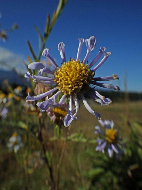 ツツザキヤマジノギク 本当に変わった舌状花です