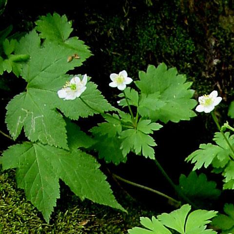 #4 2個の花をつけた個体 2005.06.19 群馬県 野反湖 alt=1525m