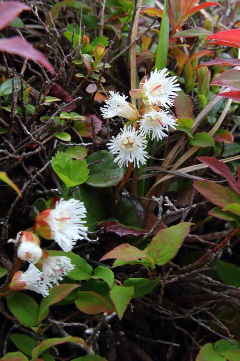 元気に開花したヒメイワカガミ