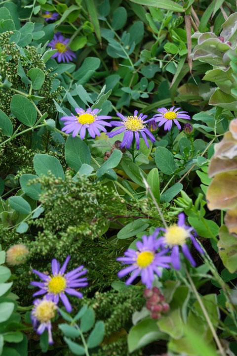 ハマベノギク 他の植物が生い茂る中では、茎を高く伸ばしていた。 そこに濃い紫色の花が。