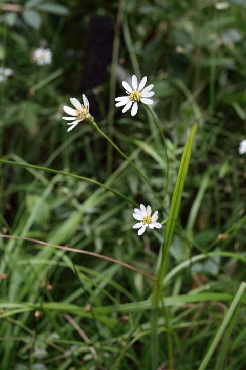 サワシロギク (沢白菊) キク科 シオン属 日当たりのよい酸性湿地に生える