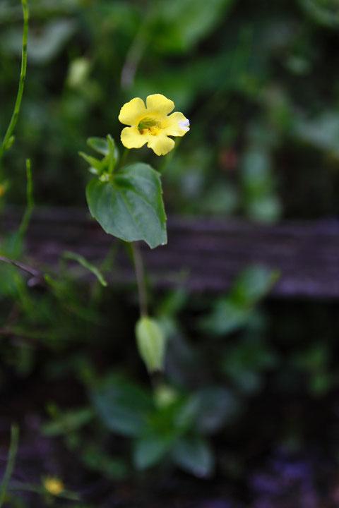 ミゾホオズキ (溝酸漿) ハエドクソウ科 ミゾホオズキ属  この花も水路に