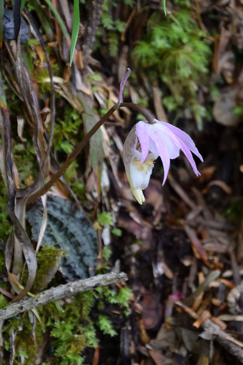ホテイラン 萼片・側花弁が垂れ下がって来てしまっているが、まだ薄桃色が残っている