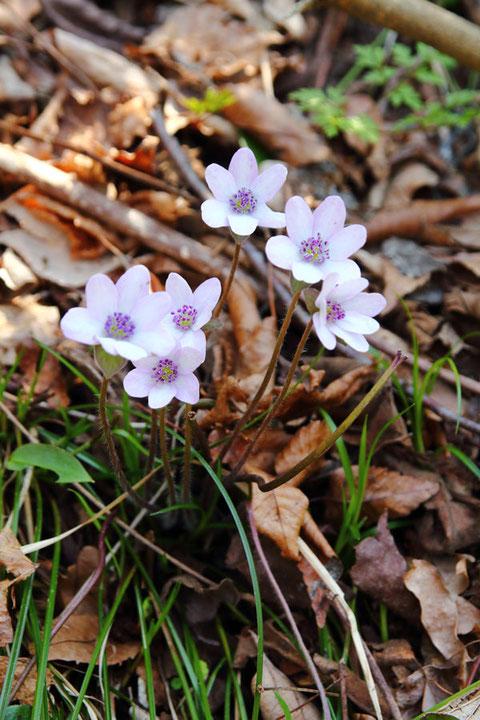 オオミスミソウの高さは10〜15cm、花の径は1.5〜2cmほどです。