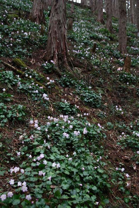 斜面一面にイワウチワが咲く 想像を超えるすごい株数でした
