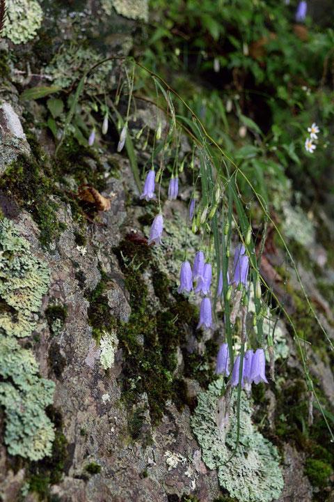 茎・茎葉・花柄・花とすべてが細長く、垂れ下がりますが、根生葉は卵心形(左上)