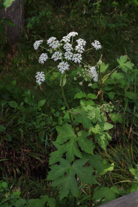 ハナウド (花独活) セリ科 ハナウド属  2m近い草丈のものもあった