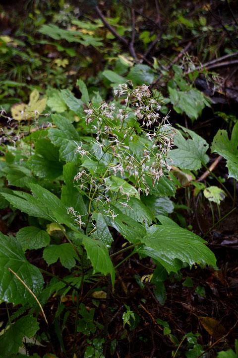 オヤリハグマの終盤の残り花が雨に濡れそぼっていたが、なんとかギリギリセーフかな