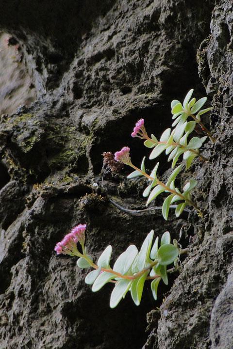 エッチュウミセバヤは、特定の種類の岩にしか自生しないようだ