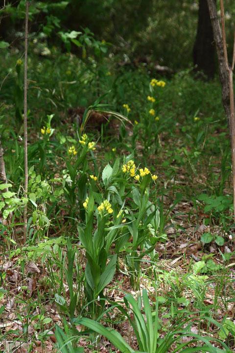 林の中に咲くキンラン。 ここも密度が高い。
